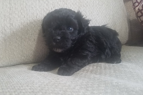 Black Female ($1200.) to reserve is