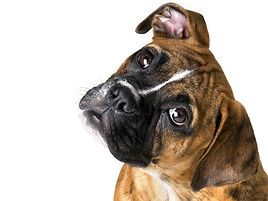 Animals___Dogs_Cute_boxer_on_a_white_bac