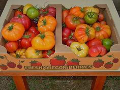 U-Pick tomatoes