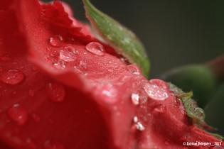 Dew in Rosa