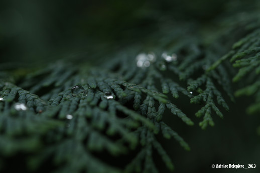 Water drop on Cypressus