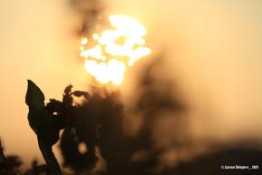 Lavandula and Sunset