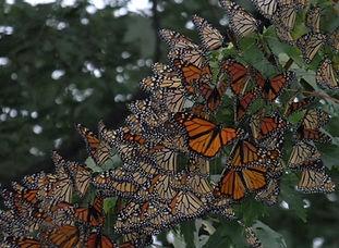BBGP-butterflies.JPG