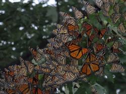 BBGP-butterflies