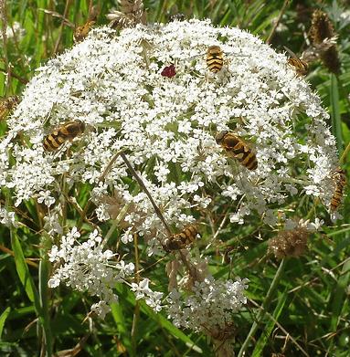 hoverflies_on_yarrow-500x510.png