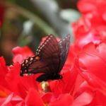 tulips_butterfly-150x150.jpg