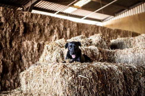 web_Huey_dog_hay_bales.-3.jpg