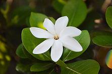 Tahitian Gardenia Tiare close up.jpg