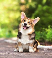 купить щенка вельш корги пемброк