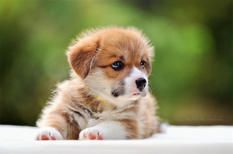 купить щенка корги киев