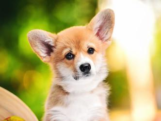 щенок вельш корги пемброк