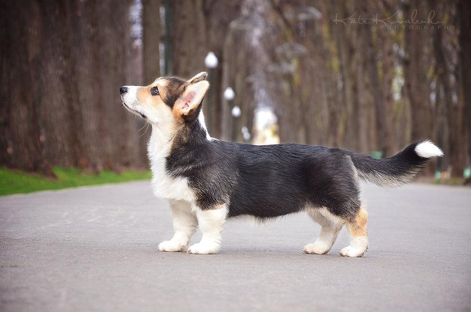 породистый щенок вельш корги пемброк