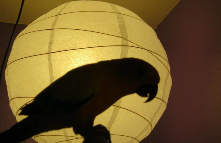 a parrot shadow against a Chinese lantern background