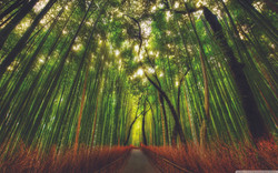 bamboo_forest-wallpaper-1440x900.jpg