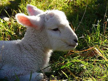 lamb-759225_1920.jpg