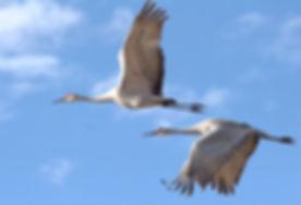 sandhill-cranes-2645334_1920.jpg