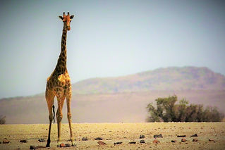 Giraffe during our Wildlife Tour