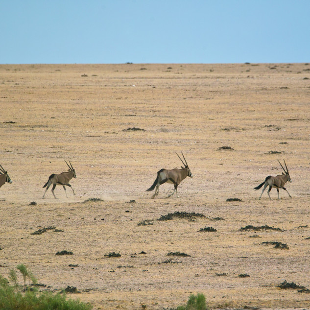 Herd of oryx seen during our wildlife safari starting at Walvis Bay.