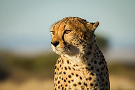 Cheetah at Keetmanshoop