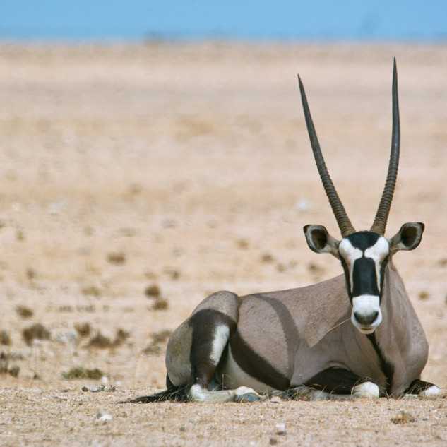 Oryx in Namib Naukluft Park