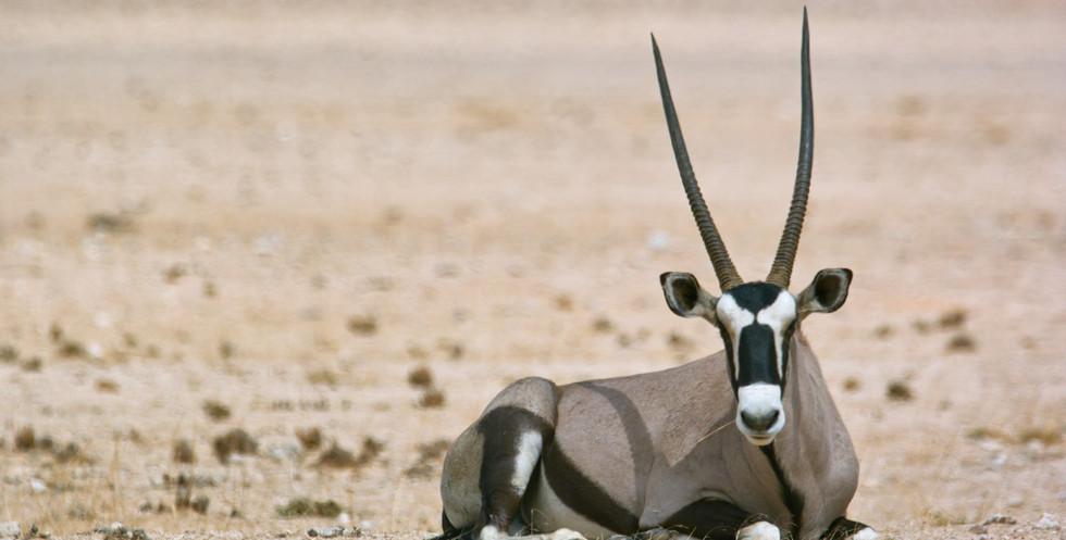 Oryx in Namib Naukluft Park