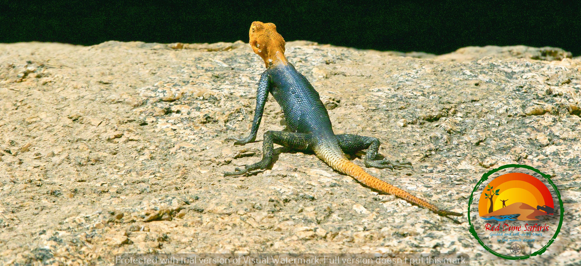 Rock Agama Lizard at Spitzkoppe