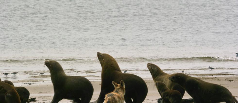 jackal herding seals.jpg