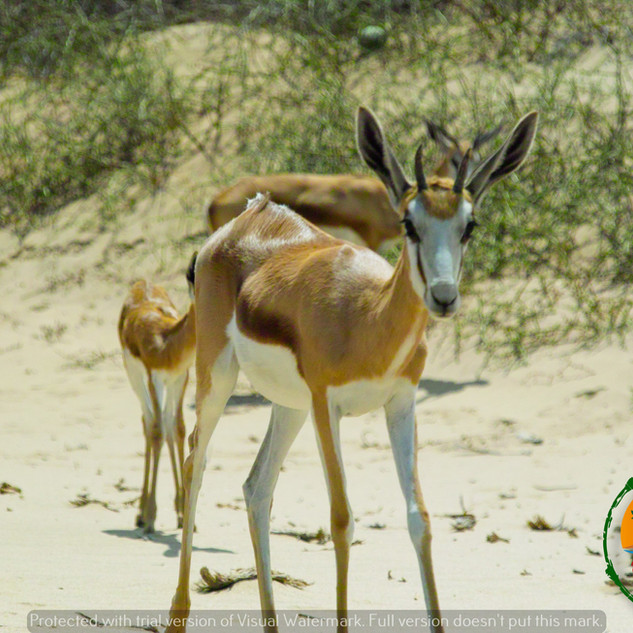 Springbuck Ewe and her calfs  in the Nam