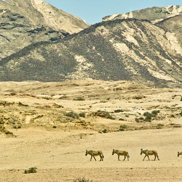 Zebras at near the Welwitschia plains