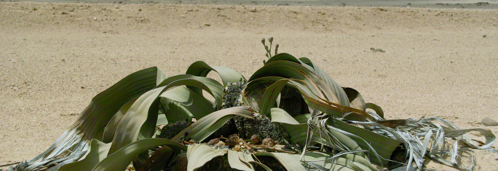 Welwitschia and moon landscape tour