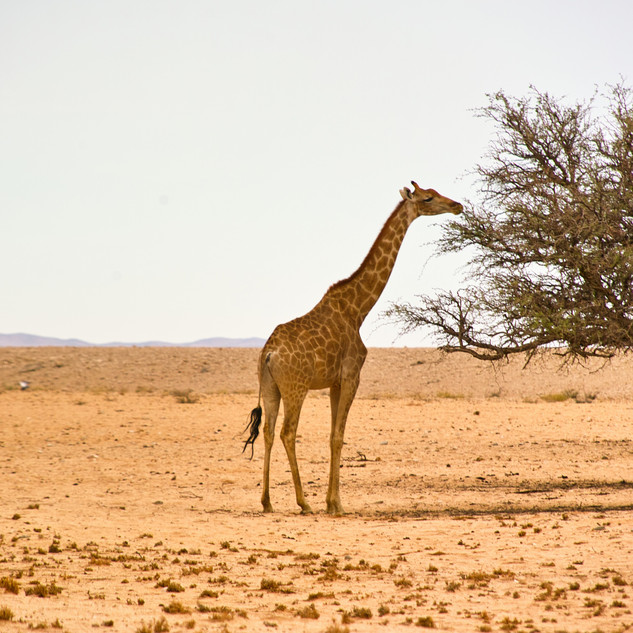 Giraffe grazing on a acacia tree