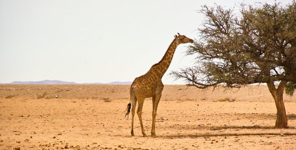 Giraffe grazing on a acacia tree