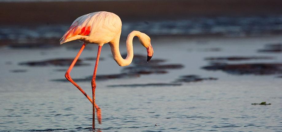 Greater flamingo at Walvis Bay lagoon, ramsar site, pin feathers, marine lagoon.