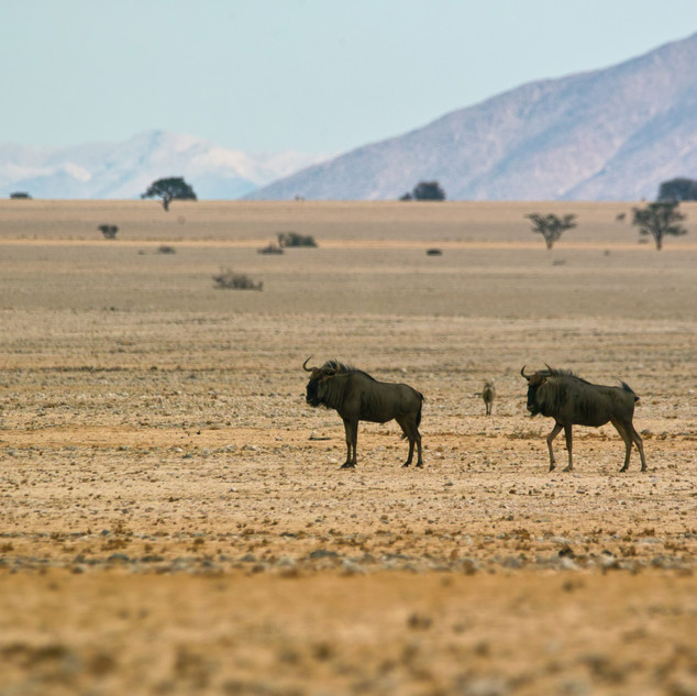 Wildebeest or Gnu seen here on tour.