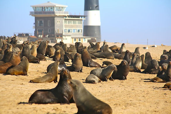 Cape fur seals at pelican point during our tour. massive collony at pelican point peninsula, Walvis Bay, Namibia. Walvis Bay lighthouse.