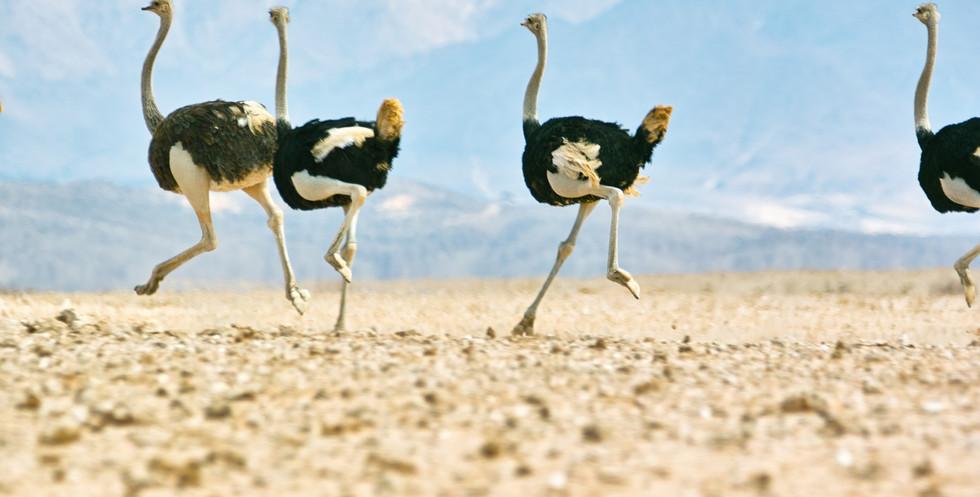 Ostriches in Namib Naukluft Park