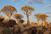 Quivertrees near Keetmanshoop