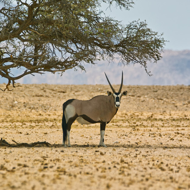 Oryx in the Namib Naukluft Park