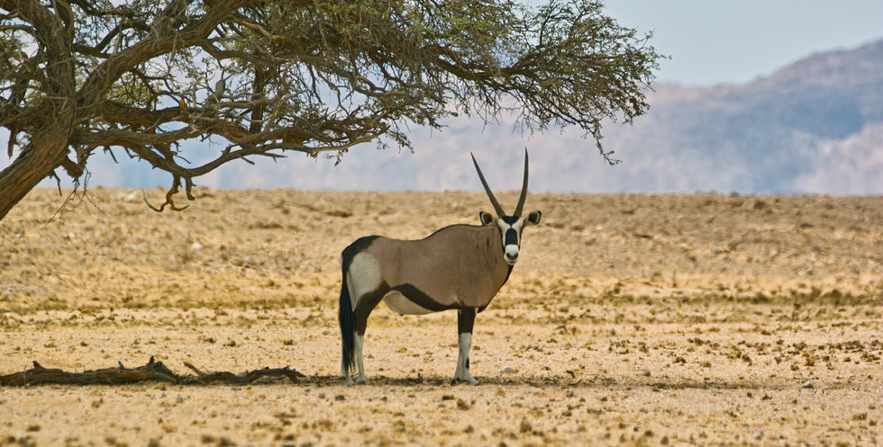 Oryx in the Namib Naukluft Park during our safari.