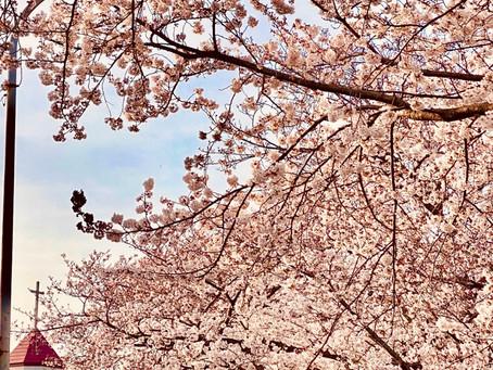 春ですね桜満開!