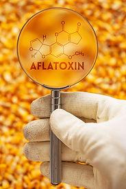 Aflatoxin poisonous carcinogens in harve