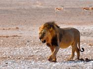 lion-1170216.jpg