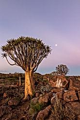 quiver-tree-4993823.jpg