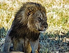 lion-4980128.jpg