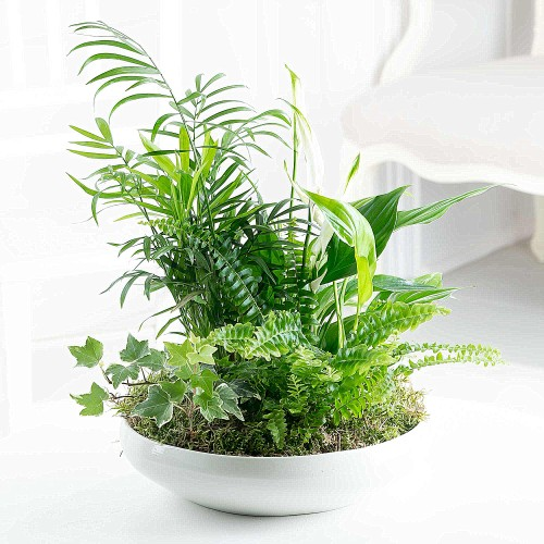 Air Purifying Plants. Boston Fern, Hedera, Spathy and Chammy in a Ceramic Bowl.