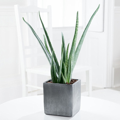 Aloe in a Cube Stone Pot