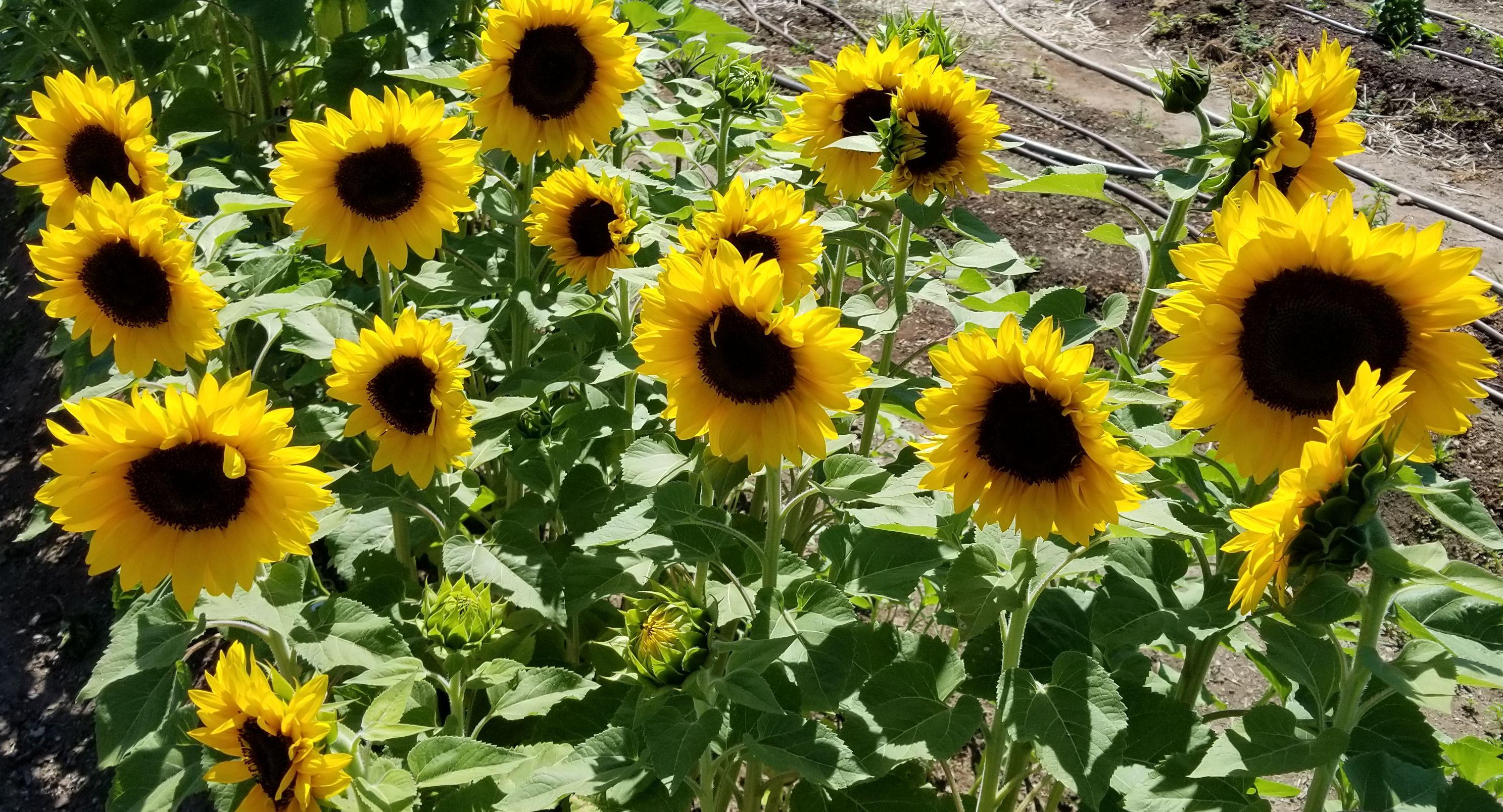 Sunflower - Procut 'Brilliance'
