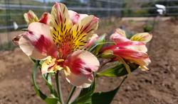 Alstroemeria 'Tri-Color'