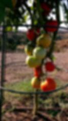 TomatoHarvest.jpg