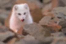 arctic fox tongue.jpg